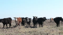Cows Staring On Desolated Field Stock Footage