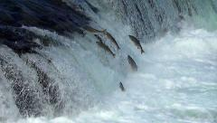 Over 30 Salmon Jumping at the Falls in 50% Slow Motion Stock Footage