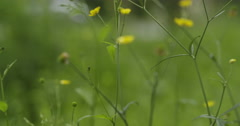 Focus pull of meadow with buttercup slowmo 60fps Stock Footage