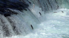 Over 60 Salmon Jump Near Falls in 17 Seconds - stock footage