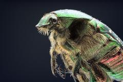 Rose chafer on a dark background close-up Stock Photos