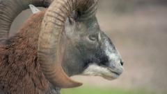 Close-up of the ram - stock footage