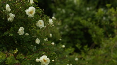 White briar rose flowers in early summer Stock Footage