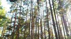 Dolly shot of pine forest with sun shining  through woods Stock Footage