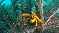 Crinoid Squat Lobster Stock Footage