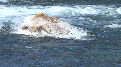 Variable SlowMotion of Fish Squirting Out When Brown Bear Dives Stock Footage