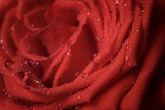 Macro photo of red rose with water drops Stock Photos