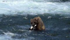 Brown Bear Dives & Misses Then Catches Fish and Shakes Off Twice Stock Footage