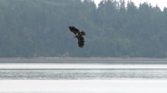 An Eagle Dives For a Fish Stock Footage