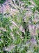 Foxtail Barely GrassHordeum jubatum Stock Photos