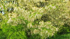 Heavy Branches With  Acacia Blossom Swaying On Breeze Stock Footage