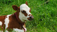 Chewing White And Brown  Calf Lying On Green Pasture Stock Footage