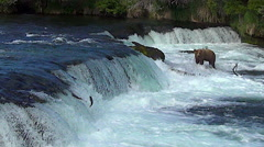 Salmon Trying to Jump Falls With Brown Bear in Background - stock footage