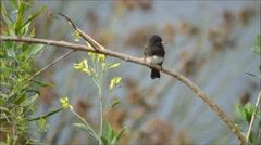 Black Phoebe (sayornis nigrican) Stock Footage