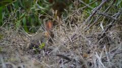 A Desert Cottontail forages (sylvilagus audubonii) Stock Footage