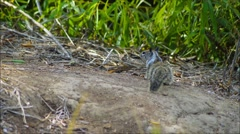 California Ground Squirrel (spermophilus beecheyi Stock Footage