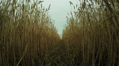 Path in wheat field Stock Footage