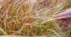 Children Hand Running Through Wheat 4k Stock Footage