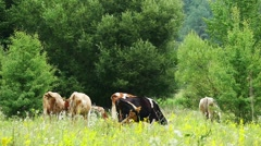 Cows Grazing On Green Summer Meadow Slow Motion Stock Footage