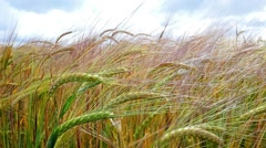 Spikelets Of Wheat In The Sunlight - stock footage