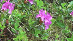 "Rhododendron mirtolistny or the famous ""Ruta"" Stock Footage"