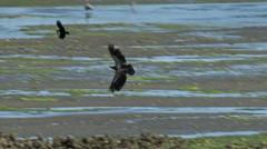 A Bald Eagle Fishing - stock footage