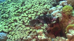 Puffer Fish on Coral Reef Stock Footage