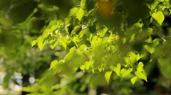 Fresh verdure, sunlight through the leaves, sunshine filtering through foliage.  Stock Footage