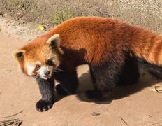 Amazing orange panda Stock Photos