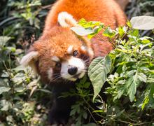 Amazing orange panda Stock Photos