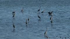 Great Blue Herons, Herons, Birds Stock Footage