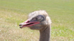 Ostrich on the grass Stock Footage