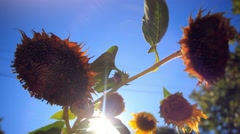 Heads of a sunflower in the intermediate stage of maturity on the background of Stock Footage