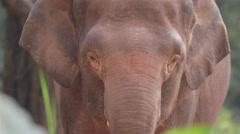 Closeup of Asia elephant Stock Footage