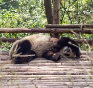 Visiting the park pandas Stock Photos