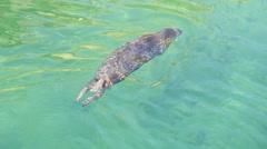 Leopard Seal Stock Footage