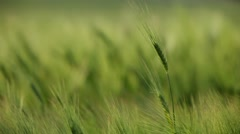 Stock Video Footage of Summer Wheat Crops In Couthern Europe