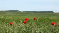 Red Poppies In A Wheat Field Stock Footage