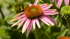 Purple coneflower, Echinacea purpurea Stock Footage