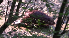 Beaver walking on land out of water nature animal Arkistovideo