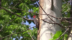 Red bellied woodpecker feeding young Stock Footage