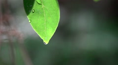 Closeup of A drop falling from the leaf Stock Footage