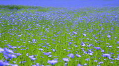 Field of flax blooming. Stock Footage