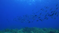 School of Unicornfishes on a coral reef Stock Footage