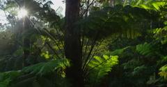 Sun Glimmering through Ferns, Big Island, Hawaii Stock Footage