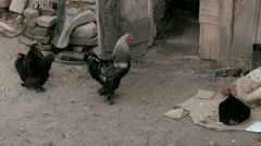 Chicken With Shed In Romania -Graded- Stock Footage