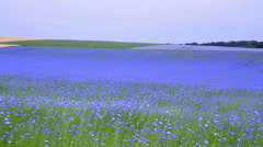 Stock Video Footage of Field of flax blooming.