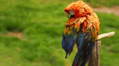Scarlet macaw perching on wooden pole in national park Stock Footage