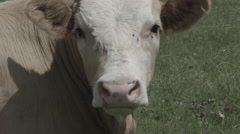 Close Up of Cow on Meadow -Cine Gamma- Stock Footage