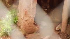 Puma relaxing in national park Stock Footage